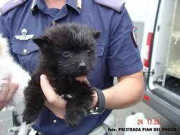 Traffico di cuccioli – Polizia stradale blocca furgone sull'autostrada A1