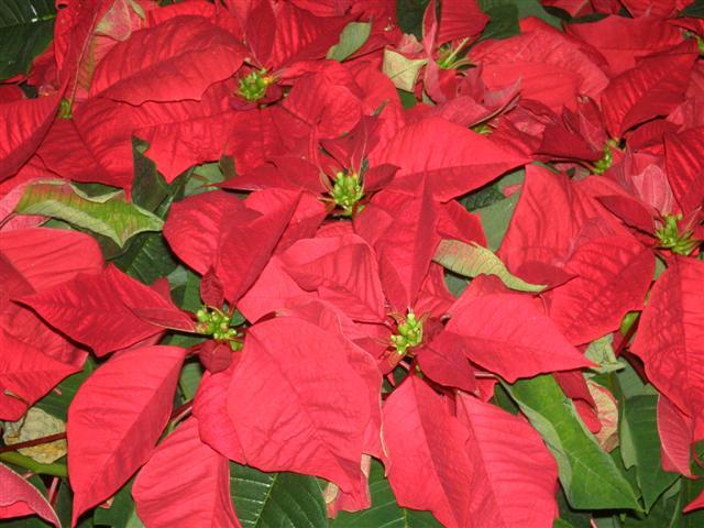 Stelle di Natale (Euphorbia Pulcherrima) pericolose per la salute