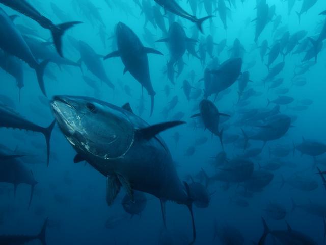 Tonno da 250 chili pescato a Sestri Levante