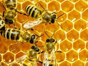 Nuovi fondi per l'apicoltura ligure