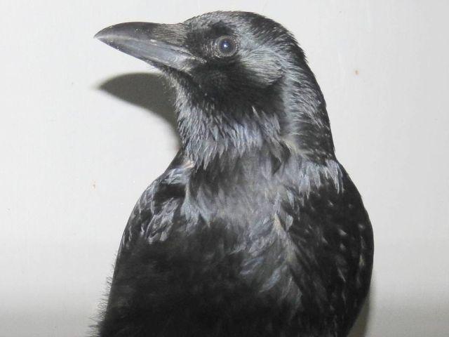 Loano – Corvo domestico salvato dall'Enpa
