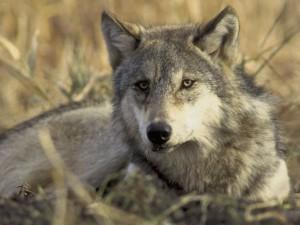Sulle tracce del lupo nel Parco del Beigua