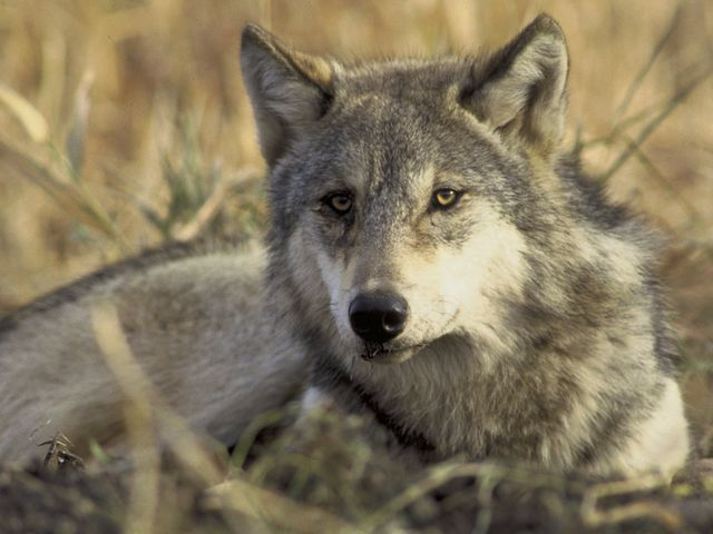 Conservazione del lupo, la Regione Liguria ha chiesto approfondimento a Roma