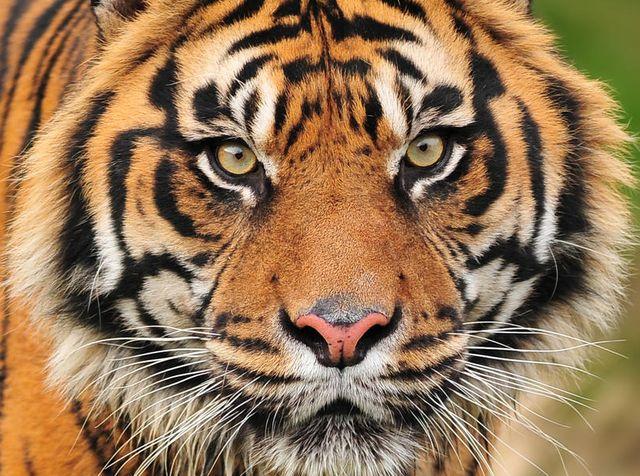 Panda, tigri e rinoceronti scomparsi entro il 2050