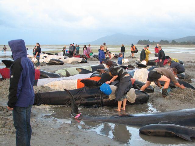 Balenottere spiaggiate in Nuova Zelanda – 100 sono già morte