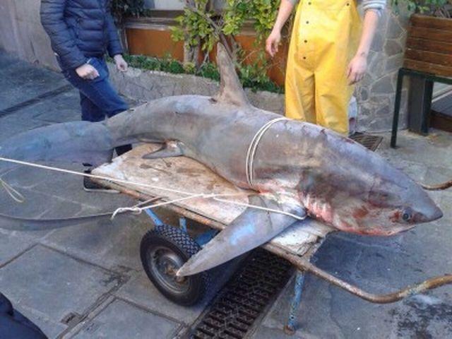 Camogli – Grosso squalo finisce nelle reti da pesca