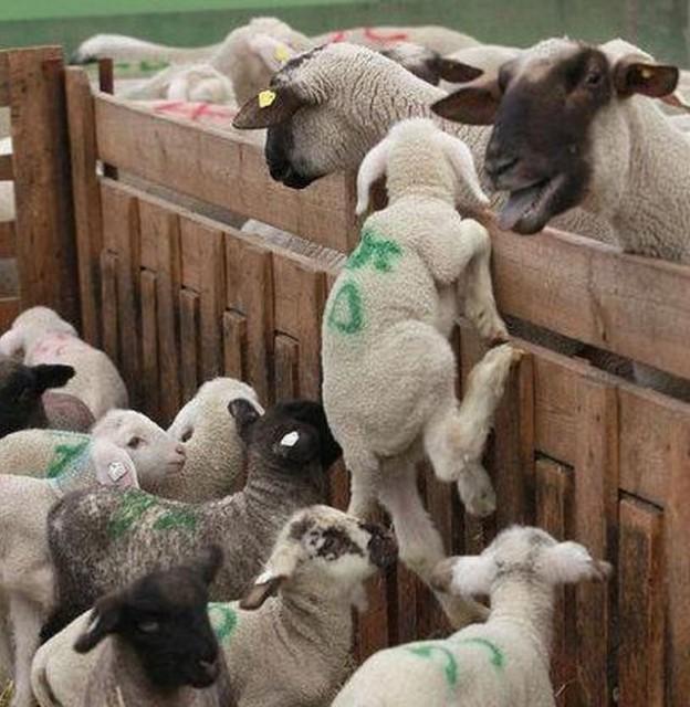 Controlli Enpa su trasporto agnelli per Pasqua