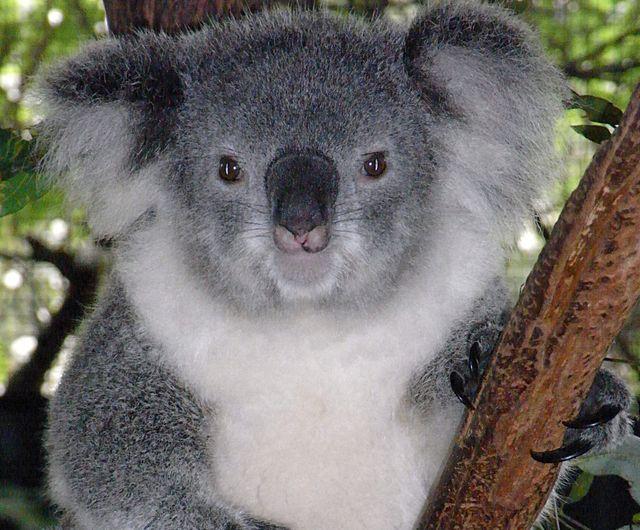 Strage di Koala a Melbourne, soppressi 700 esemplari