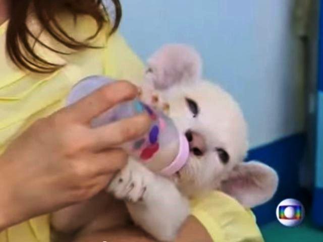 Cucciolo di leone bianco superstar allo Zoo di Santa Catarina in Brasile – VIDEO