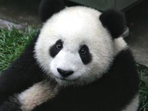 Panda cinesi in aumento