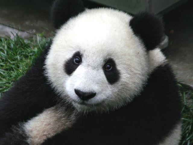 Greenpeace, la Cina difenderà l'habitat del panda gigante