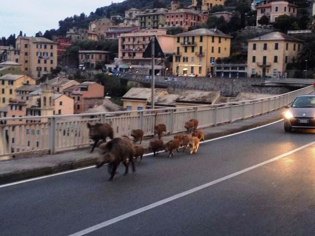 Cinghiali a spasso sul ponte di Sori