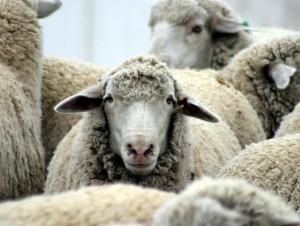 Aurelia Bis bloccata tra Alassio e Albenga per un gregge di pecore