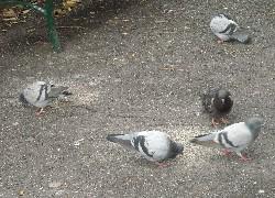 Noli, vietato dare cibo ai piccioni: multe fino a 500 euro
