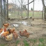 pollaio galline
