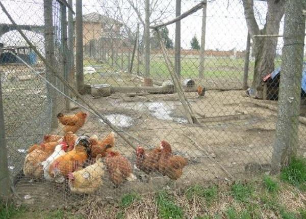 Liguria – Sarzana, si graffia nel pollaio: morta di tetano