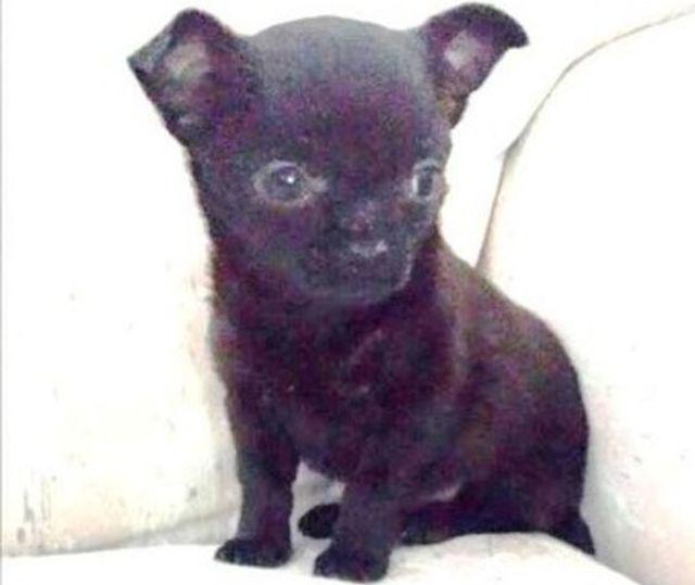 Ritrovato il cucciolo di chihuahua rubato a Vado Ligure