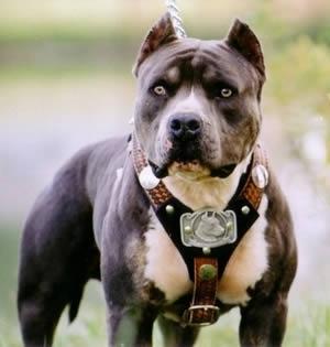 San Fruttuoso – Pitbull sbrana cagnolino in piazza Martinez