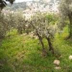 s.ilario terrazze ulivi