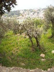 Liguria – Ulivo malato di Xylella a Savona? Albero in quarantena ed esaminato