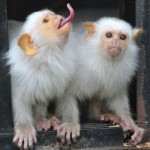 scimmie uistiti argentate