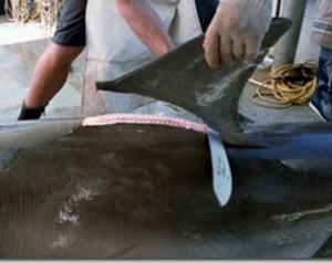 Traffico di pinne di squalo in Ecuador