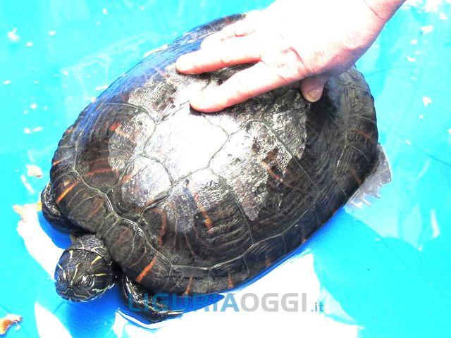 Tartaruga dimenticata in albergo a Savona