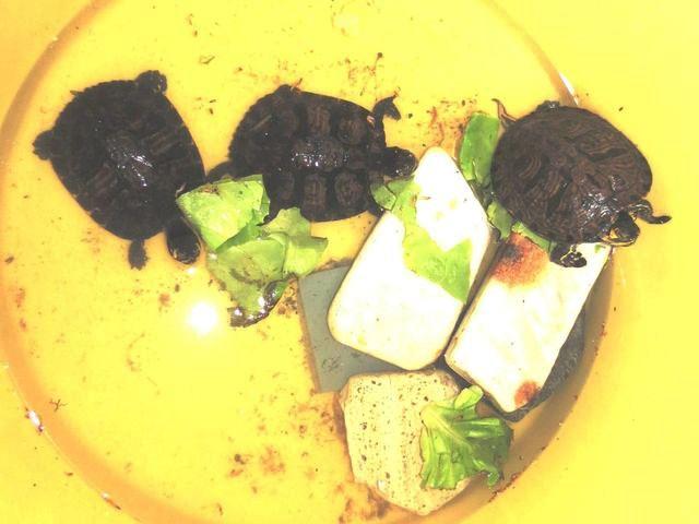 Tartarughe nella spazzatura a Loano