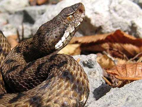 Genova – 20enne morso da serpente a Sant'Ilario: scatta elisoccorso