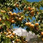 albicocche albero