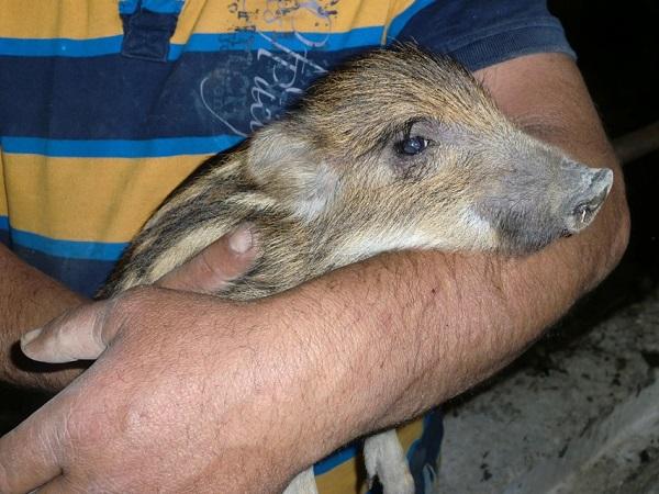 """Liguria – Cucciolo di cinghiale adottato da ex cacciatore: """"Più affettuoso di un cane"""""""