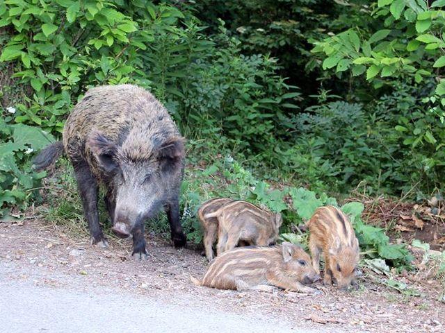 Cinghiale a Villa Rosazza e cervo in corso Martinetti, Genova come lo zoo