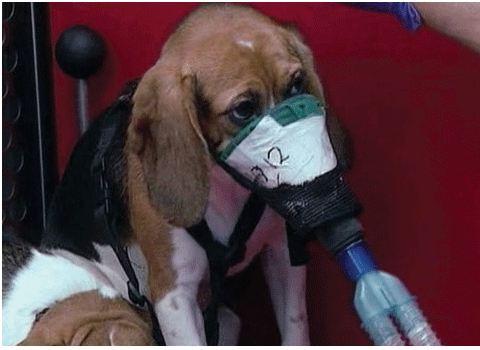 """Green Hill – Animalisti a processo: """"Cani Beagle erano feriti e apatici"""""""