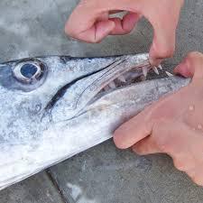 Pescati barracuda a Camogli