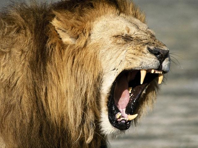 Georgia – Passante ucciso da leone fuggito da zoo