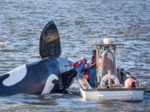 Orca robot per spaventare leoni marini