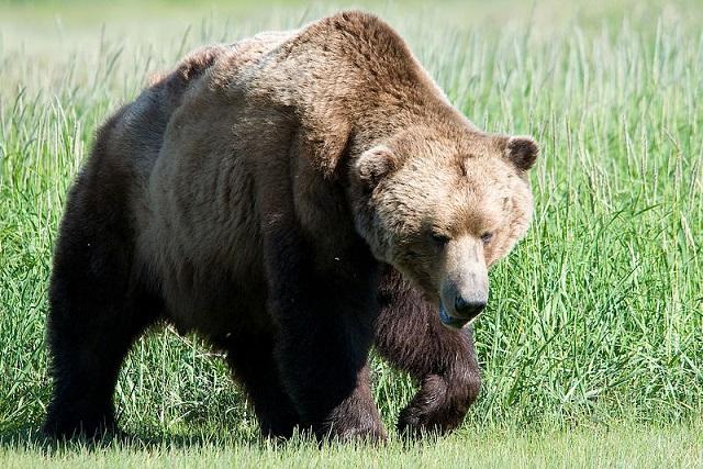 Trentino – 45enne aggredito da un orso: è grave