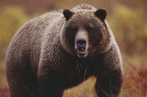 Caccia all'orso in provincia di Trento