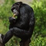 scimpanzè alcol