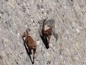 Stambecchi acrobati al lago di Cingino