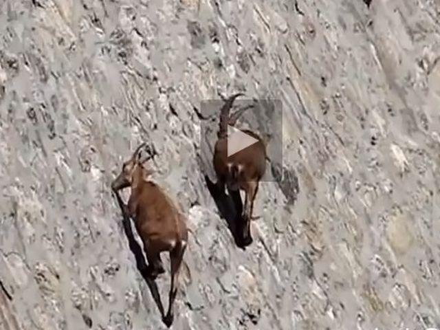 Stambecchi acrobati al lago di Cingino – VIDEO