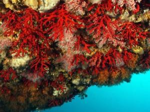 Corallo Rosso del Mediterraneo a rischio