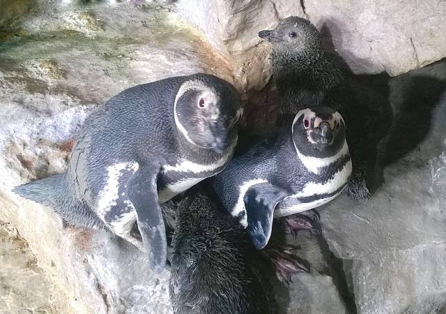 "Liguria – Acquario di Genova festeggia nascita baby pinguini ""gemelli"""