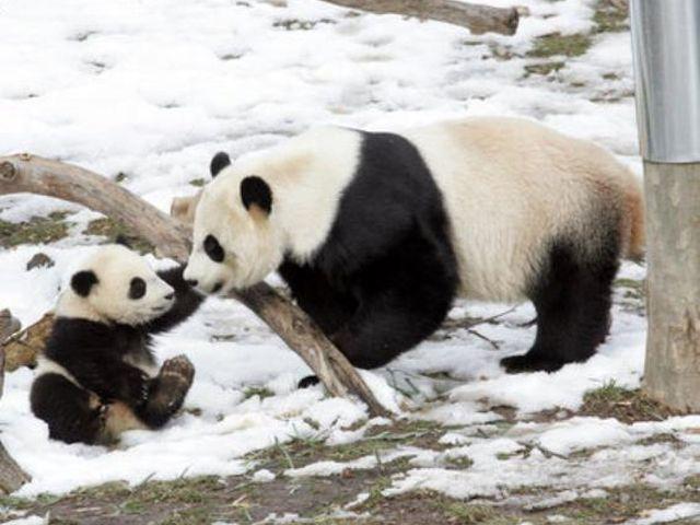 Baby panda gigante nato allo Zoo di Washington