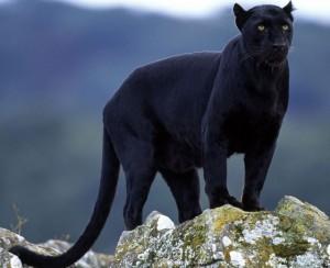 Pantera nera avvistata a Vobbia