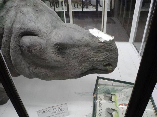 Rubano corni di rinoceronte al Museo di Storia Naturale, ma sono copie