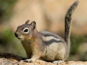 Peste degli scoiattoli allo Yosemite Park