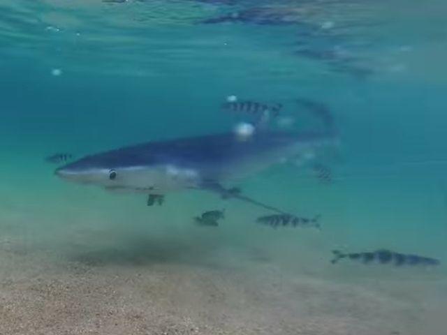 Squalo salvato dai bagnanti in Sardegna – VIDEO