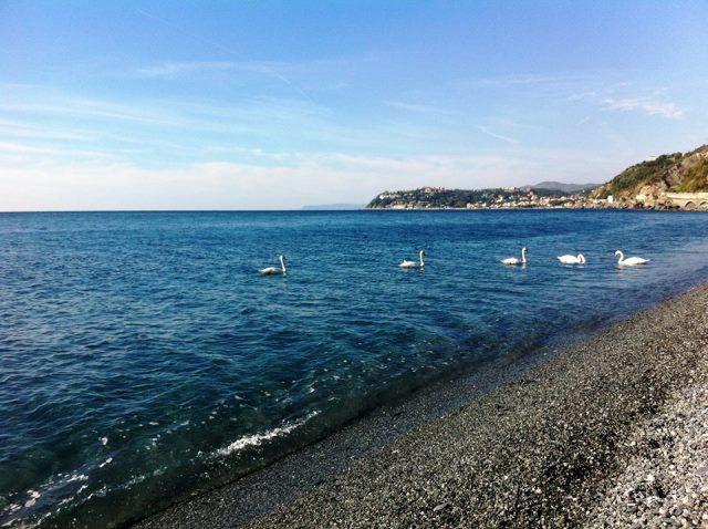 Voltri – Cigni fanno sosta in mare davanti alla spiaggia