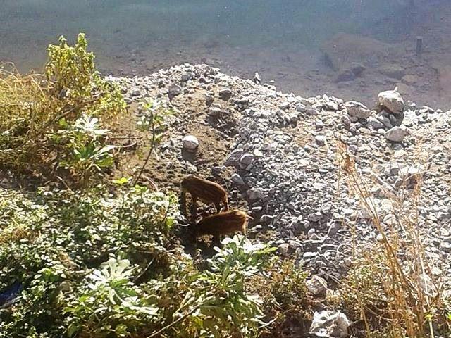 Marassi – Cuccioli di cinghiale abbandonati nel Bisagno
